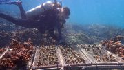 Coral Transplantations Withstand Climate Change