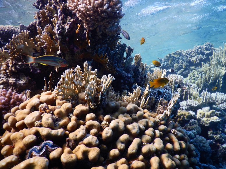 Corals in the Gulf of Aqaba in the Red Sea