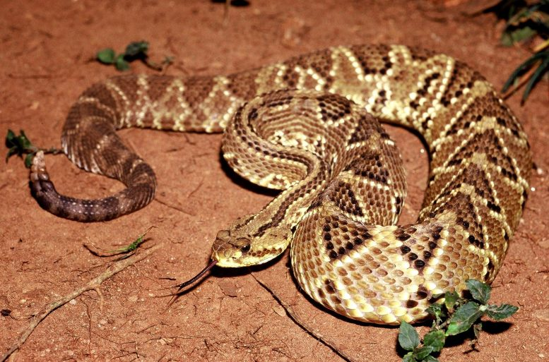 Crotalus Durissus Rattlesnake