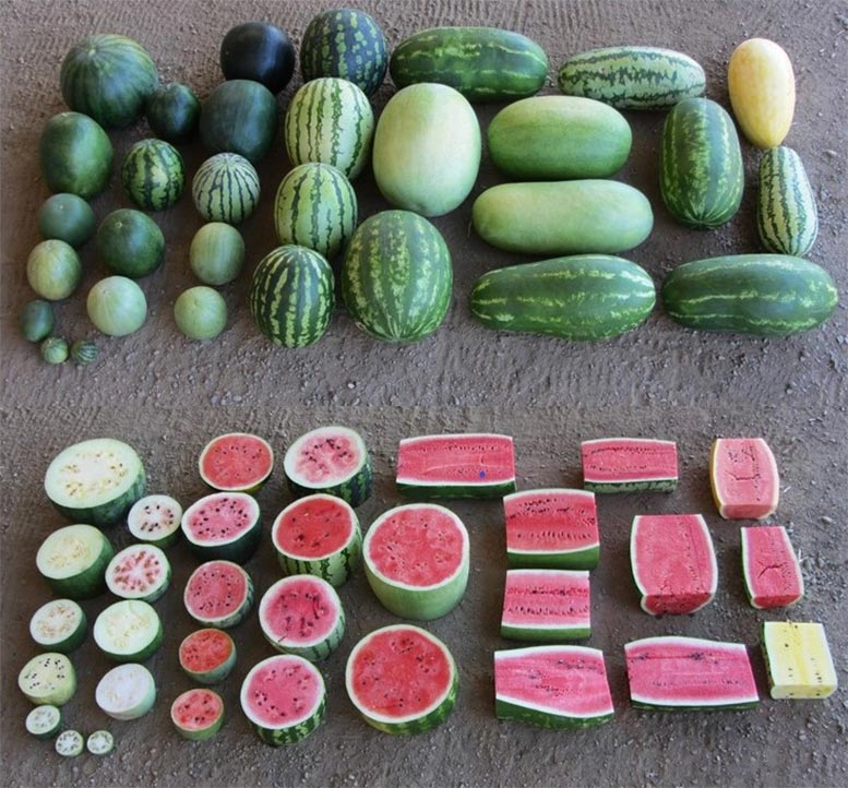 Cultivated Watermelon's Wild Relatives