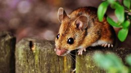 Cute Brown Mouse