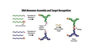 DNA Monomer Assembly and Target Recognition