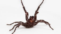 Deadly Funnel Web Spider
