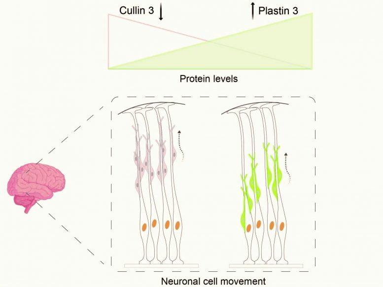 Defective Cullin 3 Gene Leads to Accumulation of Plastin 3 Protein