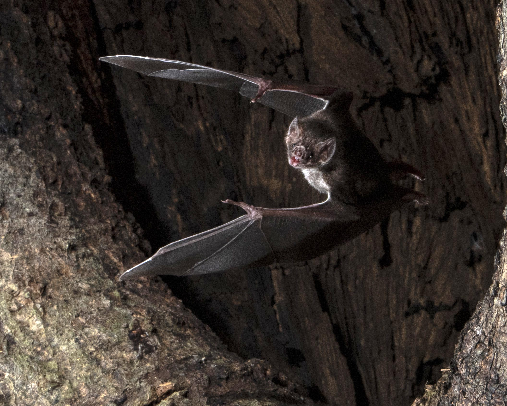 Biology: Vampire bats social distance when they get sick