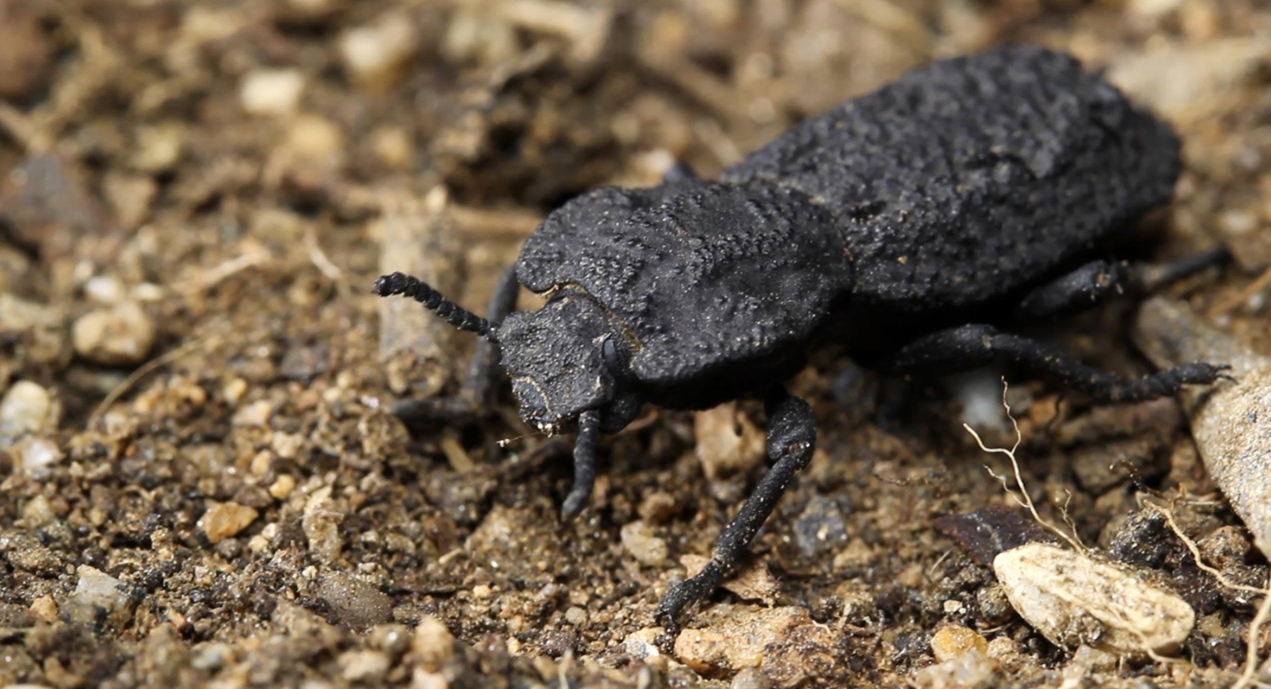 What Are Diabolical Ironclad Beetles? Scientist Discover Secret Behind 'Crush-Resistant' Bugs