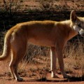 Dingo Solves Problem To Reach Food