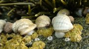 Dogwhelks on Shore of Swan's Island in Maine