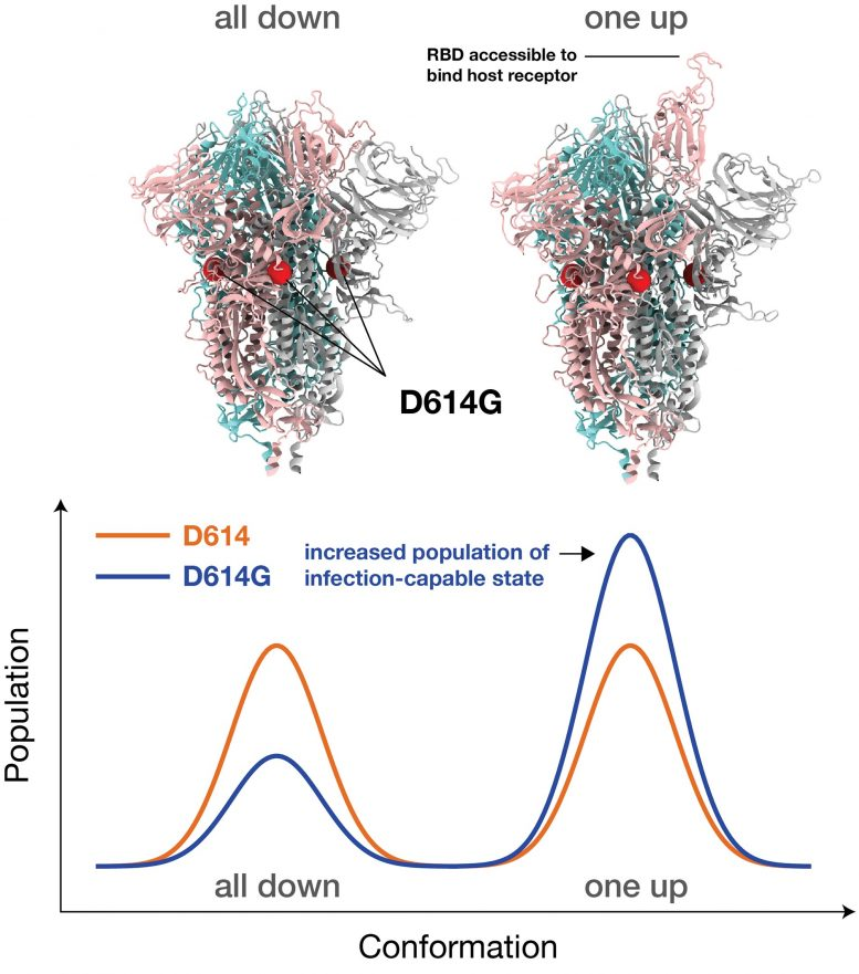 Dominant G-Form Spike Protein