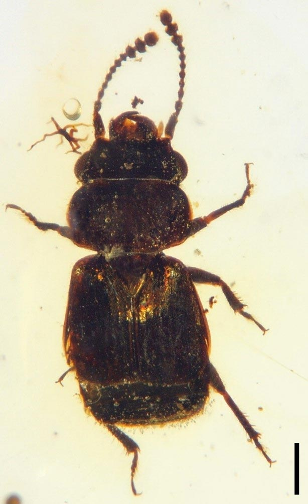 Dorsal View of Pelretes vivificus