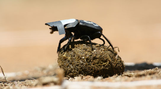 Dung-Beetles-Use-Stars-For-Orientation