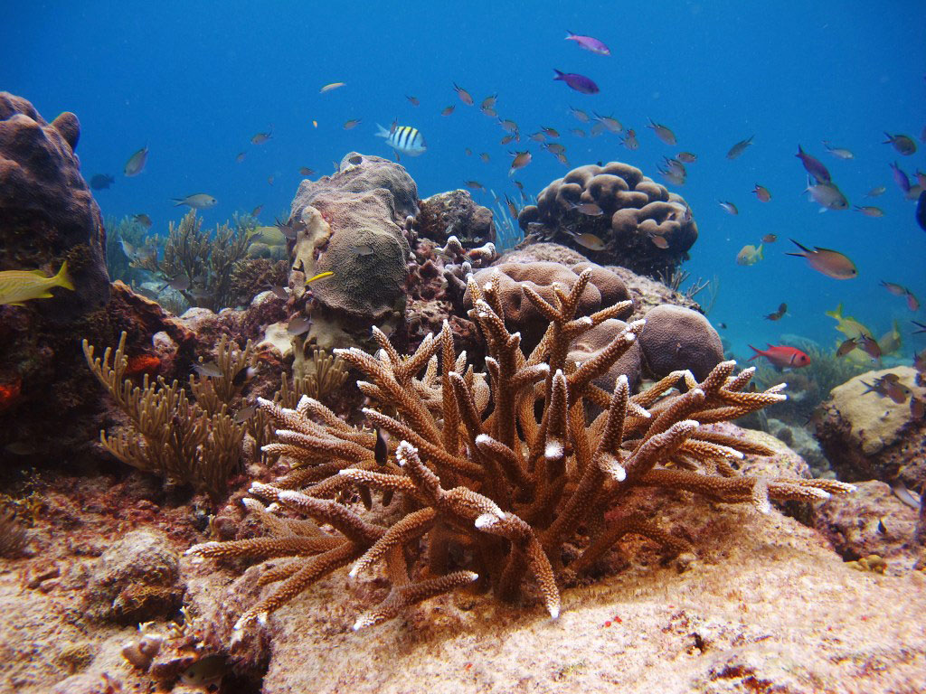 Biologists explore the effect of coral restoration on for Caribbean reef fish