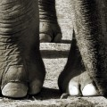 Elephant's Sixth Toe Re-Discovered