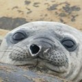 Elephant Seal Tracked Traveling 29,000 km