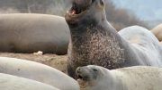 Elephant Seals Crop
