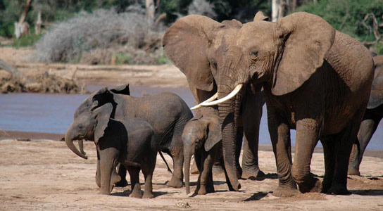 Elephants-in-Kenya's-Samburu-region