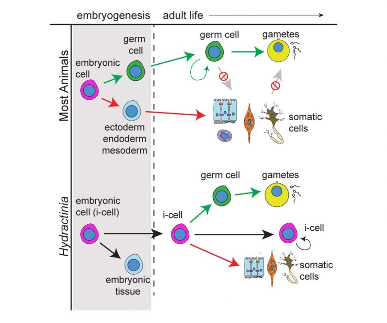 Embryogenesis and Development
