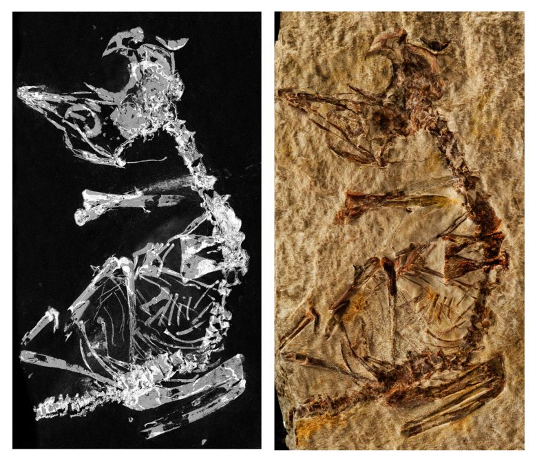 Enantiornithes Fossil Sheds Light on Avian Evolution