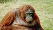 Endangered Orang-utans Digest Their Own Muscles For Survival