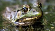 Estrogen Contamination is Changing the Amphibian Populations