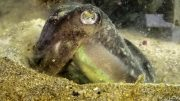 European Common Cuttlefish
