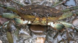 European Green Crab Closeup