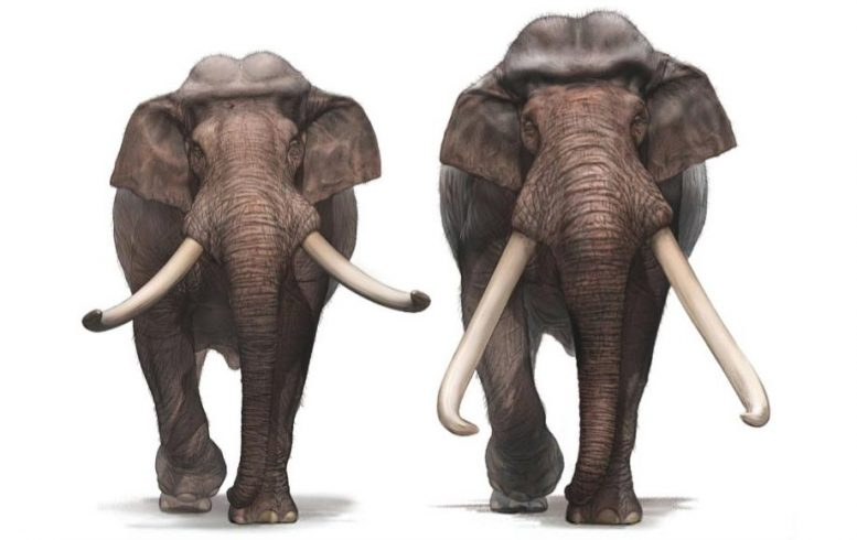 European Straight Tusked Elephant Front