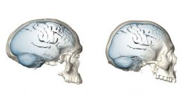 Evolution of Modern Human Brain Shape