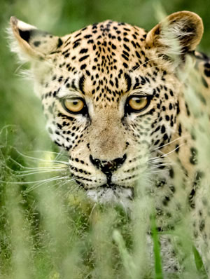 Extinction threat due to habitat loss greater than believed