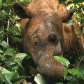 Female Sumatran Rhino May Be The Key to Saving The Species