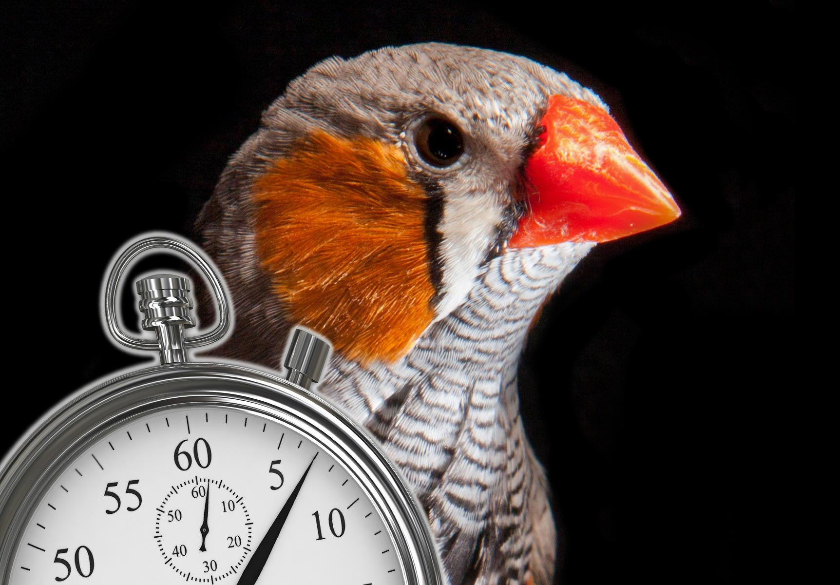 """Scientists Deconstruct the """"Biological Clock"""" That Regulates Precise Timing of Complex Birdsong"""