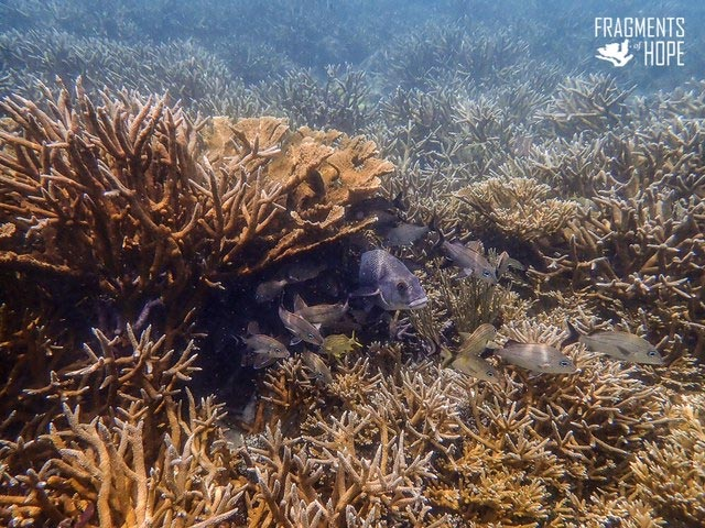 Fish Among Elkhorn and Staghorn Corals
