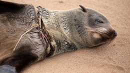 Fishing Lines Cause Horrific Injuries to Cape Fur Seals