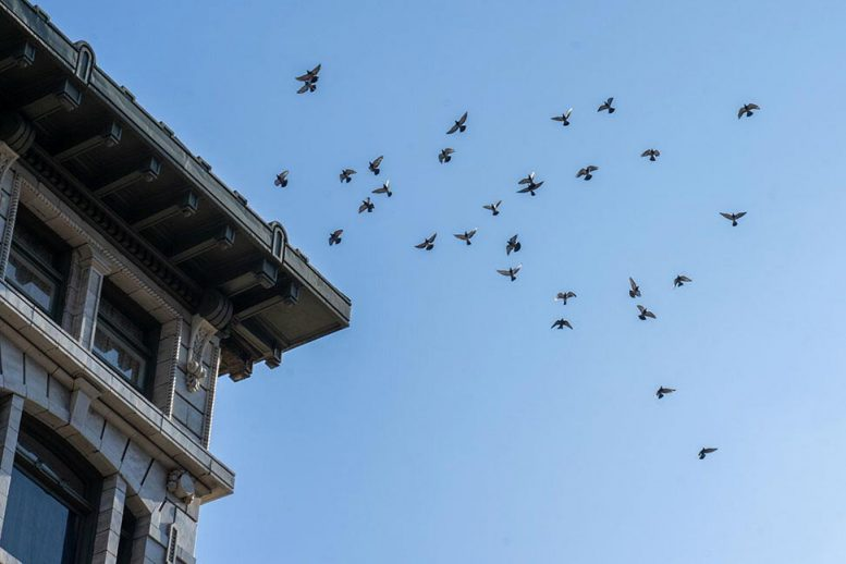 Flock of Pigeons in Coordinated Motion