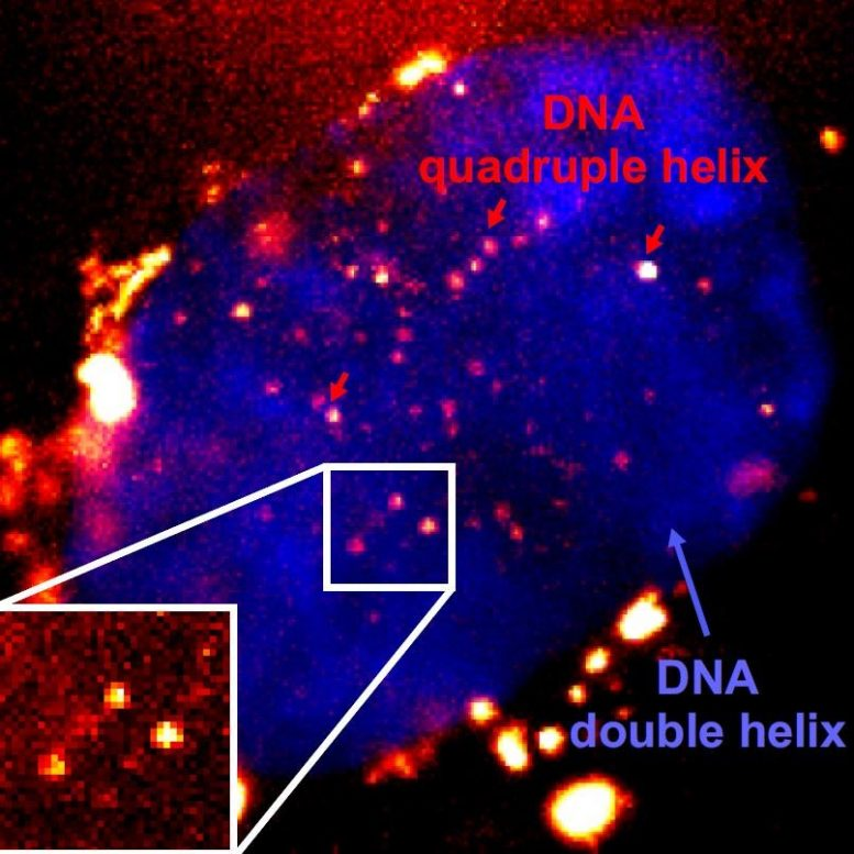 Fluorescent Quadruple Helix DNA
