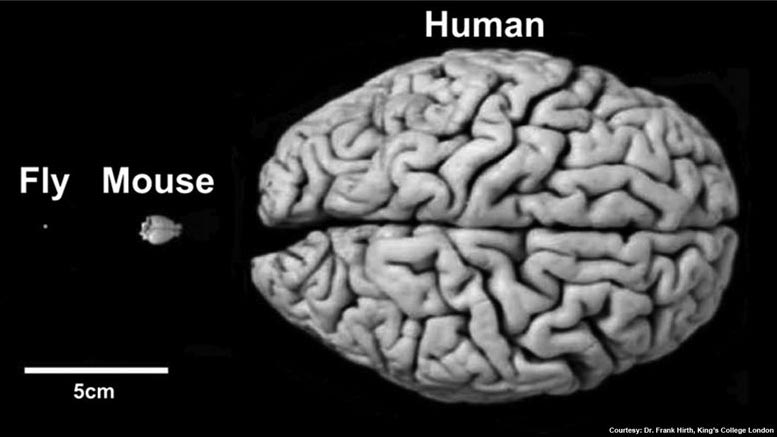 Fly Mouse Human Brains