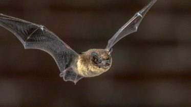 Flying Pipistrelle Bat