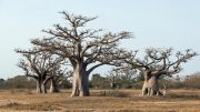 Forest Baobabs