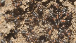 Formica polyctena Ant Workers