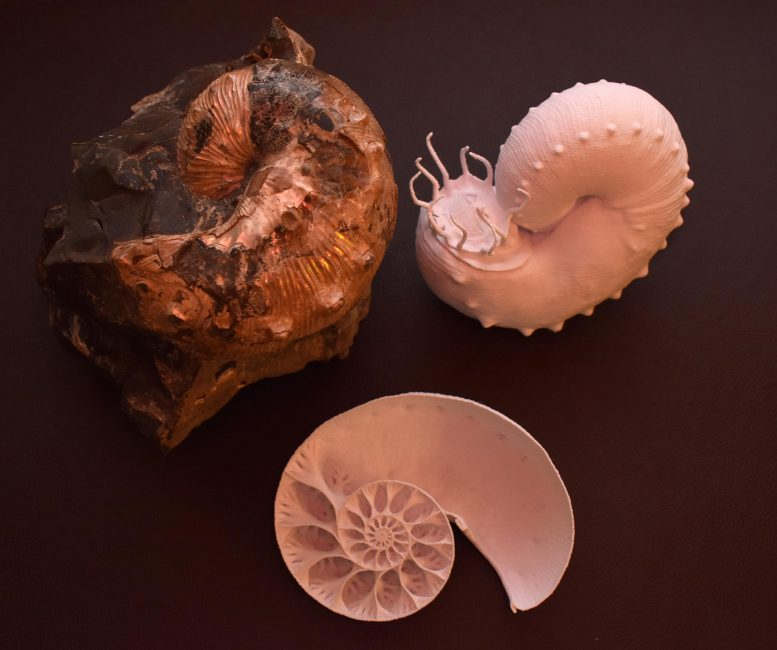 Fossil Ammonite and 3D-Printed Computer Reconstructions