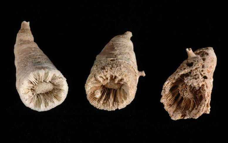 Fossil Remains Deep Sea Corals
