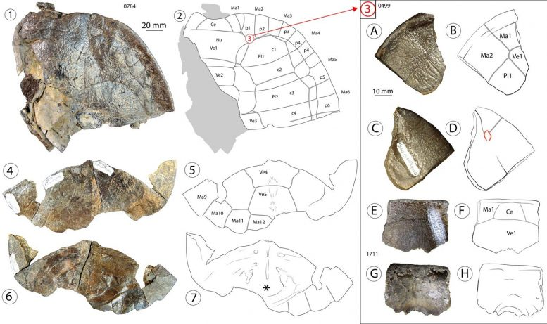 Fossil Samples of New Turtle Species Trinitichelys Maini