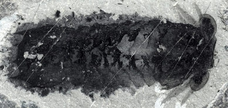 Fossil of Mollisonia Plenovenatrix