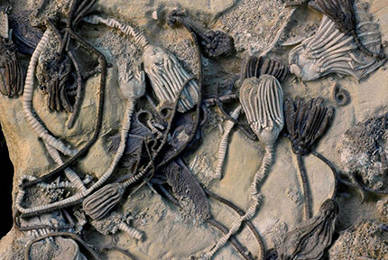 Fossilized-Sea-Creatures-Yield-Oldest-Biomolecules