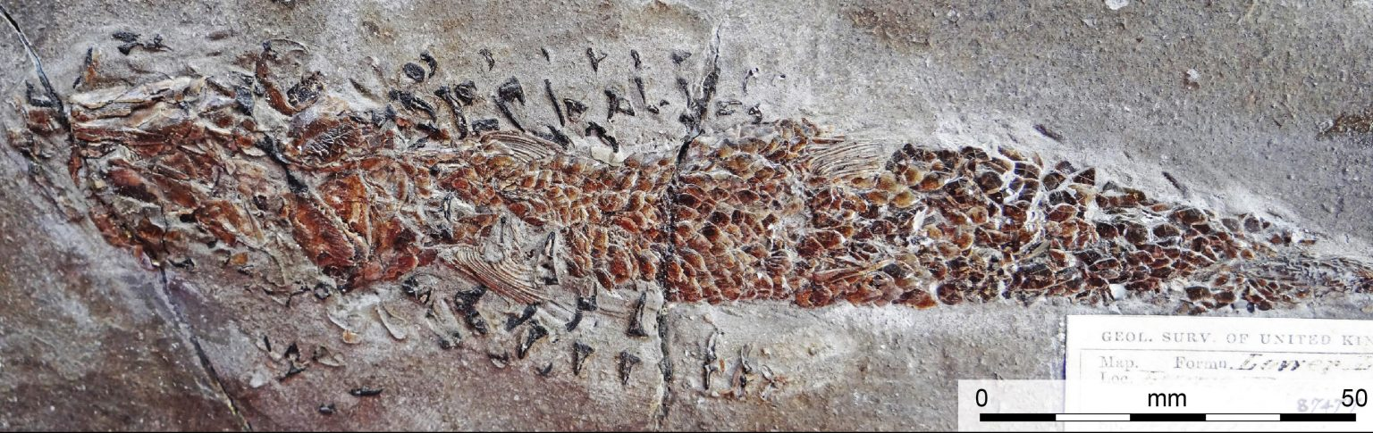 squid-like creature attacking its prey, preserved in a fossil