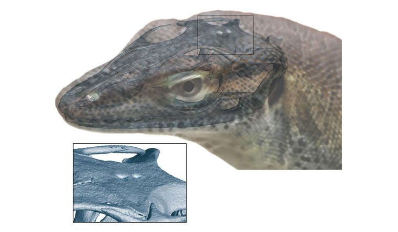 Four-Eyed Lizard Offers a New View of Evolution