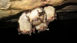 Four Little Brown Bats