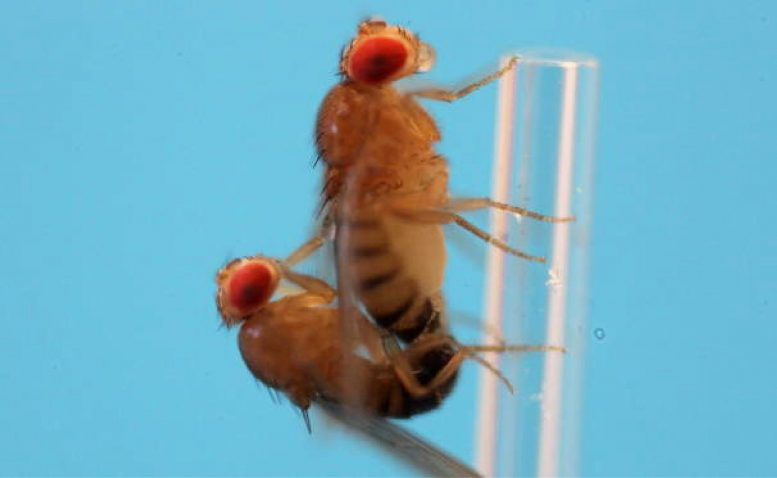 Fruit Flies Mating