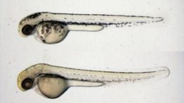 Fungal Compound Causes Less Pigmentation in Zebrafish Embryos