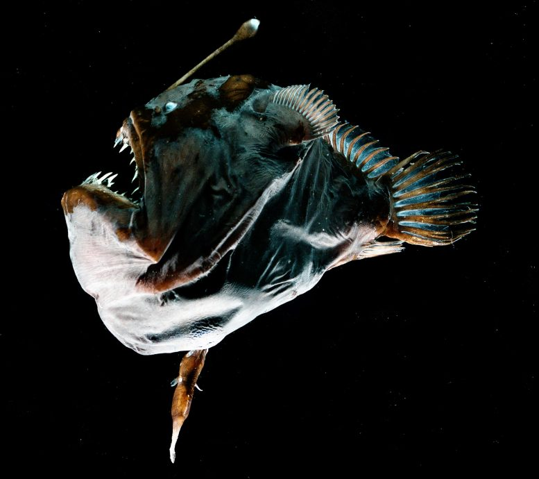 Fused Deep-Sea Anglerfish
